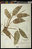 view Ischnosiphon puberulus var. scaber (Petersen) L. Andersson digital asset number 1