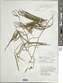 view Lycopodium casuarinoides Spring digital asset number 1