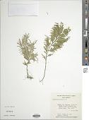 view Selaginella mollis A. Braun digital asset number 1