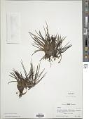 view Isoetes storkii T.C. Palmer digital asset number 1