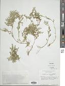 view Selaginella delicatissima Linden ex A. Braun digital asset number 1