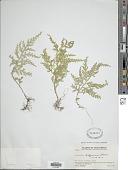 view Selaginella hoffmannii Hieron. digital asset number 1