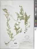 view Selaginella sertata Spring digital asset number 1