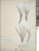 view Isoetes saccharata var. reticulata A.A. Eaton digital asset number 1