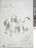 view Selaginella rupincola Underw. digital asset number 1