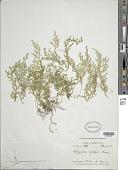 view Selaginella cordifolia (Desv. ex Poir.) Spring digital asset number 1