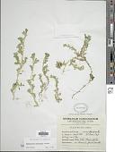 view Selaginella silvestris Aspl. digital asset number 1