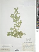 view Selaginella trisulcata Aspl. digital asset number 1