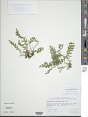 view Selaginella subcaulescens Baker digital asset number 1