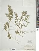 view Selaginella doederleinii Hieron. digital asset number 1