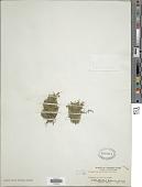 view Selaginella lutchuensis Koidz. digital asset number 1