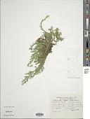 view Selaginella diffusa (C. Presl) Spring digital asset number 1