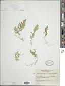 view Selaginella novae-hollandiae (Sw.) Spring digital asset number 1