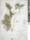 view Selaginella plana (Desv. ex Poir.) Hieron. digital asset number 1