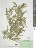 view Selaginella delicatula (Desv.) Alston digital asset number 1