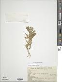 view Selaginella decomposita digital asset number 1