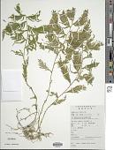 view Selaginella moellendorffii Hieron. digital asset number 1
