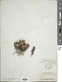 view Selaginella tamariscina (P. Beauv.) Spring digital asset number 1