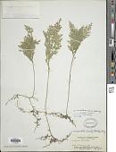 view Selaginella involvens (Sw.) Spring digital asset number 1