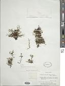 view Selaginella sellowii Hieron. digital asset number 1