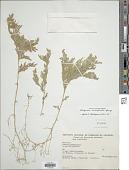 view Selaginella conduplicata Spring digital asset number 1