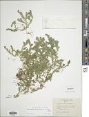 view Selaginella sulcata (Desv. ex Poir.) Spring digital asset number 1