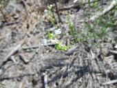 view Nuttallanthus sp. digital asset number 1