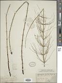 view Equisetum fluviatile L. digital asset number 1