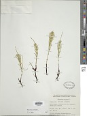view Equisetum arvense L. digital asset number 1