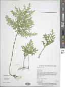 view Selaginella kanehirae Alston digital asset number 1