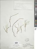 view Equisetum variegatum Schleich. ex F. Weber & D. Mohr digital asset number 1