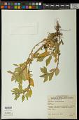 view Chenopodium sp. digital asset number 1