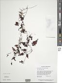 view Hymenophyllum trichomanoides Bosch digital asset number 1
