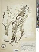 view Equisetum bogotense Kunth digital asset number 1