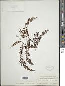 view Vandenboschia auriculata (Blume) Copel. digital asset number 1