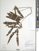 view Trichomanes longifolium Desv. digital asset number 1