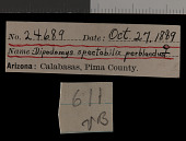 view Dipodomys spectabilis perblandus Goldman, 1933 digital asset number 1