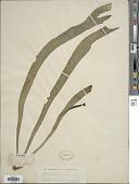 view Ophioglossum pendulum L. digital asset number 1