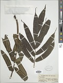 view Ptisana fraxinea (Sm.) Murdock var. fraxinea digital asset number 1