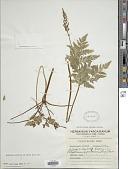 view Botrychium virginianum var. mexicanum Hook. & Grev. digital asset number 1
