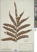 view Osmundastrum cinnamomeum (L.) C. Presl digital asset number 1