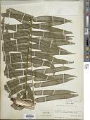 view Angiopteris lygodiifolia Rosenst. digital asset number 1