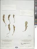 view Tmesipteris lanceolata P.A. Dang. digital asset number 1