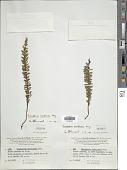 view Tmesipteris vieillardii P.A. Dang. digital asset number 1