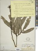 view Helminthostachys zeylanica (L.) Hook. digital asset number 1