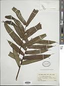 view Ptisana fraxinea var. salicifolia (Schrad.) Murdock digital asset number 1
