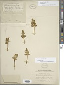 view Botrychium pinnatum H. St. John digital asset number 1