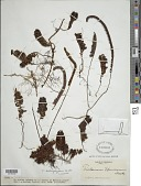 view Trichomanes humboldtii (Bosch) Lellinger digital asset number 1