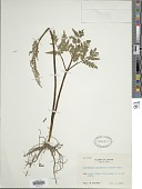 view Botrychium japonicum (Prantl) Underw. digital asset number 1