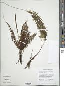 view Trichomanes diversifrons (Bory) Mett. ex Sadeb. digital asset number 1